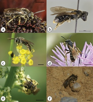 New Updated list of Bees  Azores
