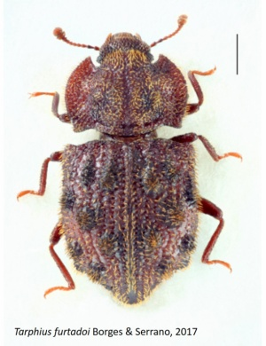 Four new species for science of beetles for Azores