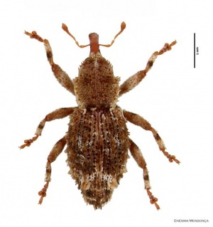 All native forest adapted beetle species endemic to Azores are now assessed for extinction risk by the IUCN SSC MID-ATLANTIC ISLAND INVERTEBRATES SPECIALIST GROUP