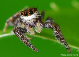 Spiders from Madeira - MACDIV Project